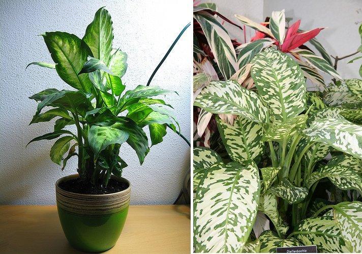 Plantas de interior dieffenbachias pictures - Plantas de interior nombres ...