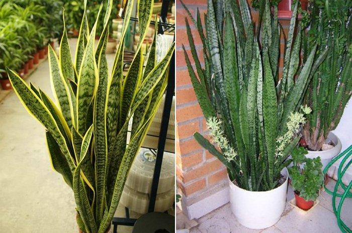 Plantas de interior decoraci n del hogar for Plantas de interior lengua de gato